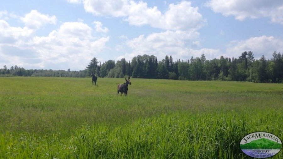 Moose At The JMBS Field School