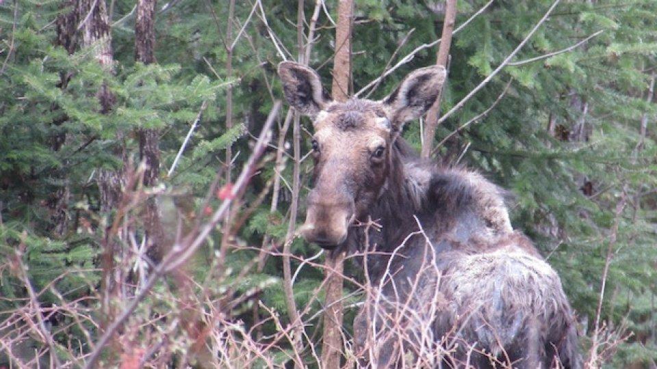 Butchering Moose
