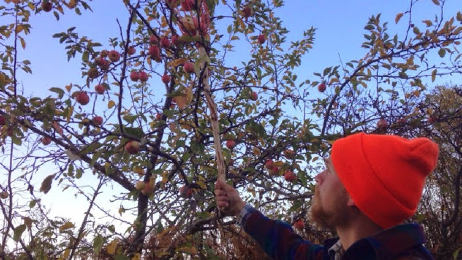 Harvesting wild apples today