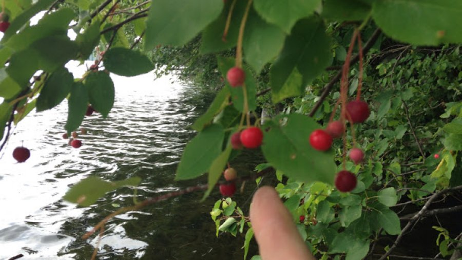 Lakeside foraging on ripe juneberries (Amelanchier genus)