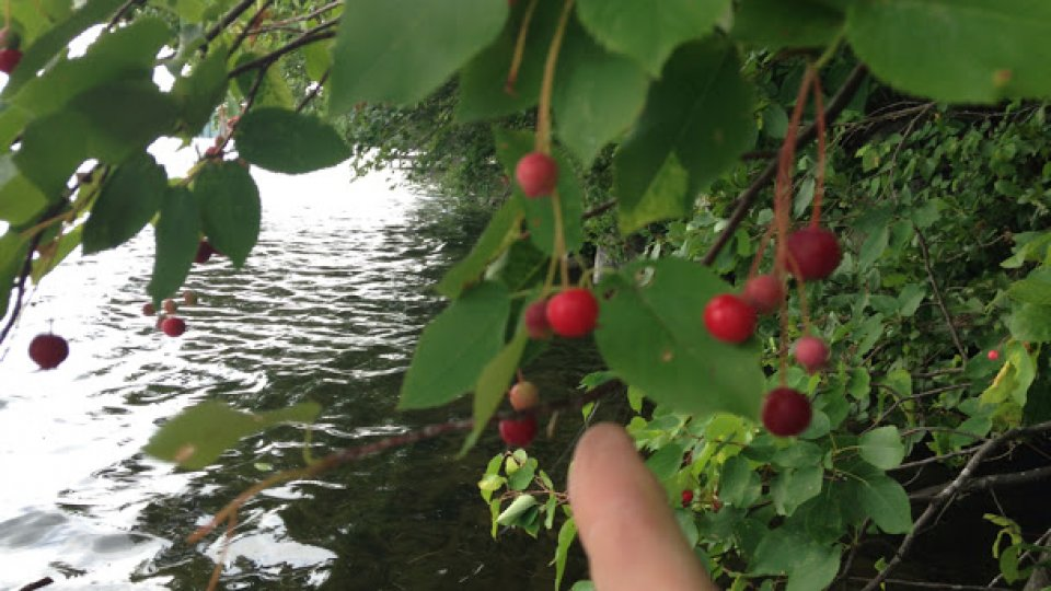 Lakeside foraging on ripe juneberries (Amelanchier genus)