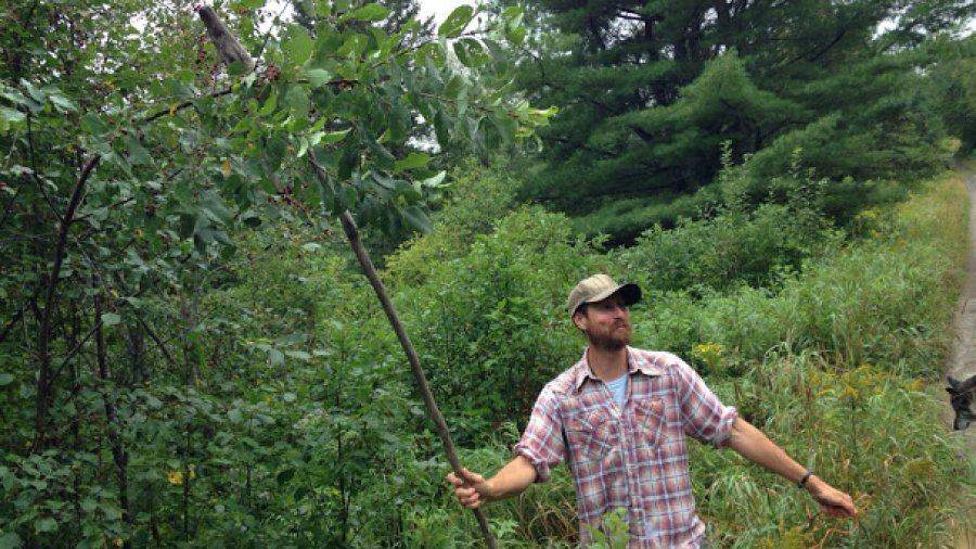 Paul harvesting overhead cherries using a Blickey Stick