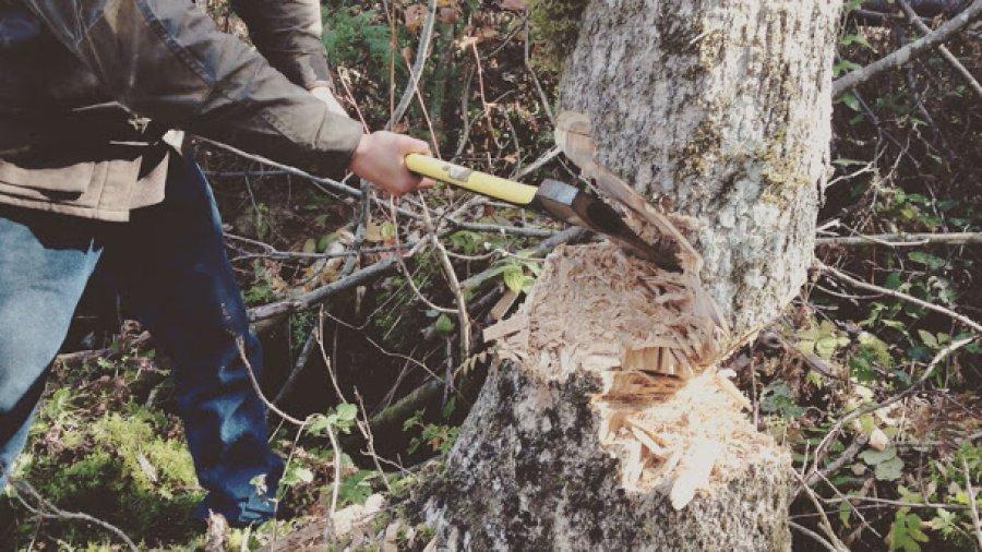Felling a large brown ash for pack basket splints