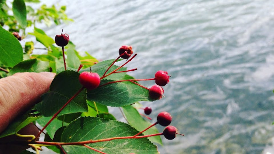 Foraging for juneberries on the shore of the pond