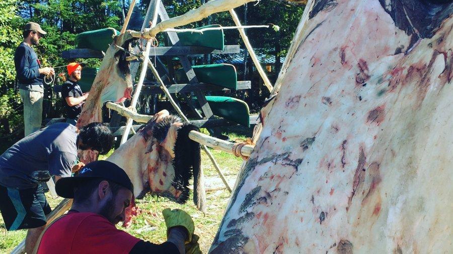 Fleshing Moose Hides