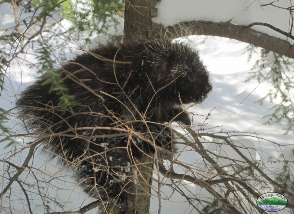 Porcupine Looking For Good Bark, Not From The Dog