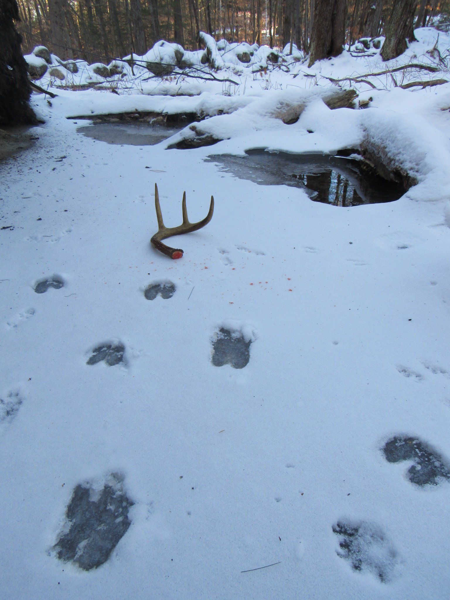 Finding Shed Deer Antlers On Our Morning Hike In Southern Vermont