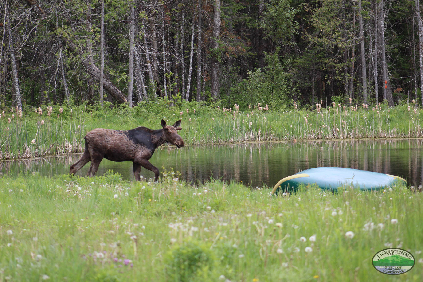 Moose By The Pond